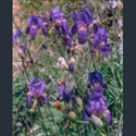 Picture for category Iris Unguiculares section