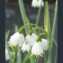 Picture for category Leucojum