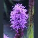 Picture for category Liatris