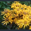 Picture for category Ligularia