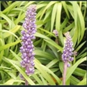 Picture for category Liriope