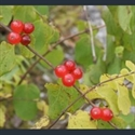 Picture for category Lonicera