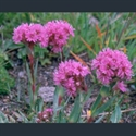 Picture for category Lychnis