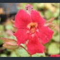 Picture for category Mimulus - small varieties