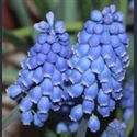 Picture for category Muscari