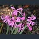 Picture for category Nerine