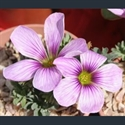 Picture for category Oxalis - bulbous varieties