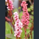 Picture for category Persicaria