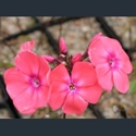 Picture for category Phlox - large herbaceous varieties