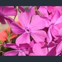 Picture for category Phlox - small alpine varieties