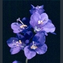 Picture for category Polemonium caeruleum and relatives
