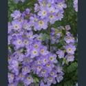 Picture for category Polemonium - dwarf alpine varieties