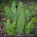 Picture for category Polystichum