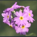 Picture for category Primula Aleuritia section