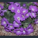 Picture for category Primula allionii varieties