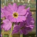 Picture for category Primula Cortusoides section