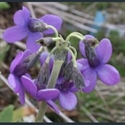 Picture for category Primula Crystallophlomis section (nivales)