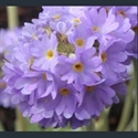 Picture for category Primula Denticulata section