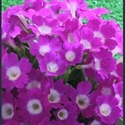 Picture for category Primula pubescens hybrids