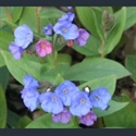 Picture for category Pulmonaria