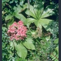 Picture for category Rodgersia