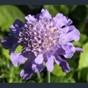 Picture for category Scabiosa