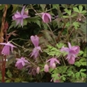 Picture for category Semiaquilegia