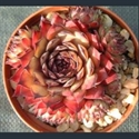 Picture for category Sempervivum