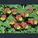 Picture for category Tropaeolum