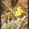 Picture for category Verbascum