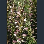 Picture of Acanthus spinosus