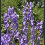 Picture of Aconitum napellus