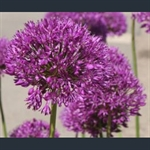 Picture of Allium hollandicum 'Purple Sensation'