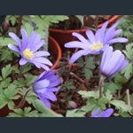 Picture of Anemone blanda blue