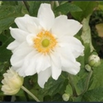 Picture of Anemone x hybrida 'Whirlwind'