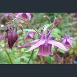 Picture of Aquilegia rockii