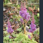 Picture of Astilbe chinensis var. pumila