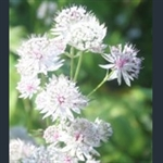Picture of Astrantia major 'Alba'