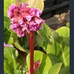 Picture of Bergenia cordifolia