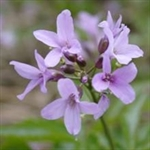 Picture of Cardamine pentaphyllos