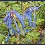 Picture of Corydalis 'Spinners'