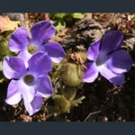 Picture of Cyananthus lobatus