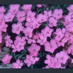 Picture of Dianthus 'Blue Hills'