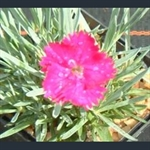 Picture of Dianthus 'Neon Star'