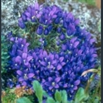 Picture of Edraianthus pumilio