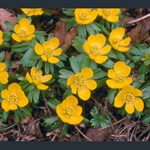 Picture of Eranthis hyemalis