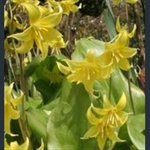 Picture of Erythronium 'Pagoda'