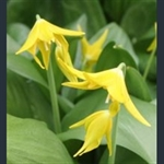 Picture of Erythronium tuolumnense