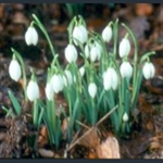 Picture of Galanthus nivalis