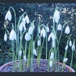 Picture of Galanthus reginae-olgae